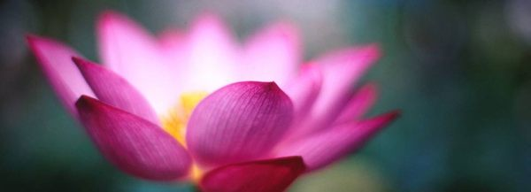 Lotus_flower_open